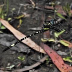 Parasynthemis regina (Royal Tigertail) at Mulligans Flat - 24 Nov 2020 by JohnBundock