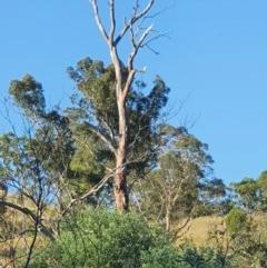 Cacatua sanguinea (Little Corella) at Gigerline Nature Reserve - 24 Nov 2020 by Ct1000