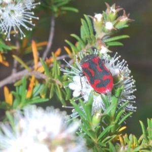 Castiarina indistincta at Mount Jerrabomberra - 24 Nov 2020