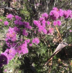 Kunzea parvifolia (Violet kunzea) at Peak View, NSW - 17 Nov 2020 by Hank
