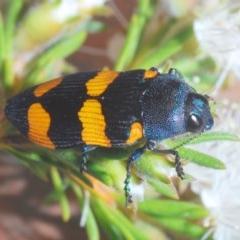Castiarina klugii (A Castiarina jewel beetle) at Mount Jerrabomberra - 20 Nov 2020 by Harrisi