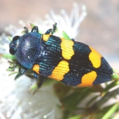 Castiarina klugii at Mount Jerrabomberra - 21 Nov 2020