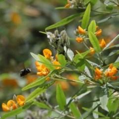 Xylocopa aeratus (Metallic Green Carpenter Bee) at ANBG - 24 Nov 2020 by TimL