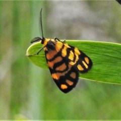 Asura lydia (Lydia Lichen Moth) at Bruce, ACT - 24 Nov 2020 by JohnBundock