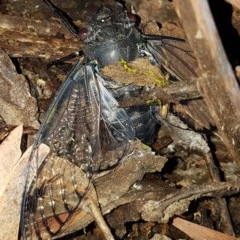 Psaltoda moerens (Redeye Cicada) at Bass Gardens Park, Griffith - 25 Nov 2020 by SRoss