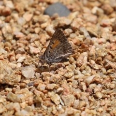 Lucia limbaria (Chequered Copper) at Gigerline Nature Reserve - 24 Nov 2020 by RodDeb