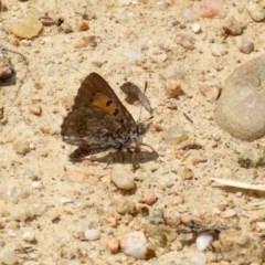 Lucia limbaria at Gigerline Nature Reserve - 25 Nov 2020