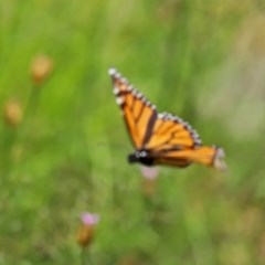 Danaus plexippus (Monarch/Wanderer) at Gigerline Nature Reserve - 24 Nov 2020 by RodDeb