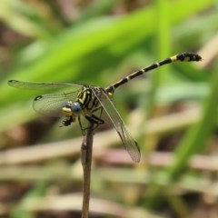 Austrogomphus cornutus (Unicorn Hunter) at Gigerline Nature Reserve - 23 Nov 2020 by RodDeb