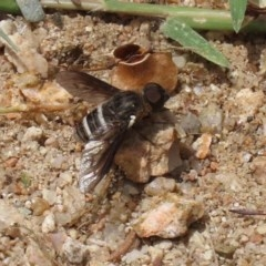 Villa sp. (genus) (Unidentified Villa bee fly) at Gigerline Nature Reserve - 24 Nov 2020 by RodDeb