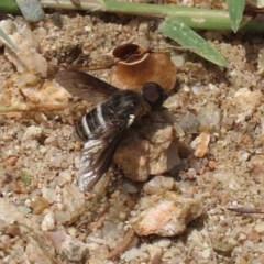 Villa sp. (genus) (Unidentified Villa bee fly) at Gigerline Nature Reserve - 24 Nov 2020 by RodDeb