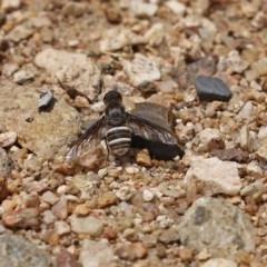 Villa sp. (genus) at Gigerline Nature Reserve - 25 Nov 2020