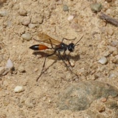 Podalonia tydei (Caterpillar-hunter wasp) at Gigerline Nature Reserve - 24 Nov 2020 by RodDeb