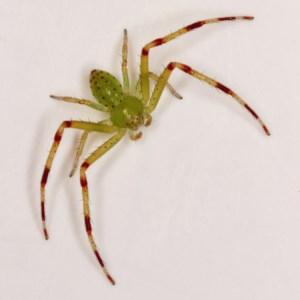 Lehtinelagia sp. (genus) at Kambah, ACT - 26 Nov 2020