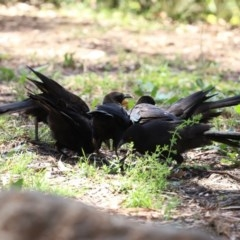 Corcorax melanorhamphos (White-winged Chough) at Gigerline Nature Reserve - 24 Nov 2020 by RodDeb