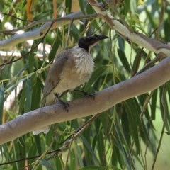 Philemon corniculatus (Noisy Friarbird) at Gigerline Nature Reserve - 24 Nov 2020 by RodDeb