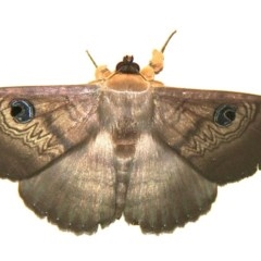 Dasypodia selenophora (Southern old lady moth) at Murrumbateman, NSW - 25 Nov 2020 by davobj