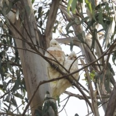 Cacatua sanguinea (Little Corella) at Higgins, ACT - 11 May 2020 by Alison Milton