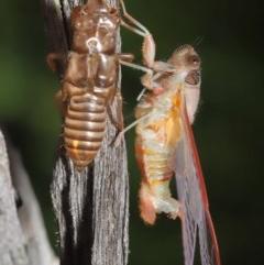 Yoyetta sp. (genus) (Firetail or Ambertail Cicada) at Evatt, ACT - 22 Nov 2020 by TimL