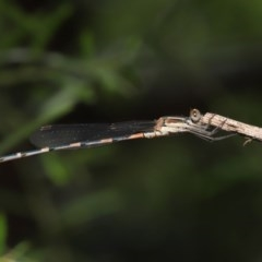 Austrolestes leda (Wandering Ringtail) at ANBG - 24 Nov 2020 by TimL