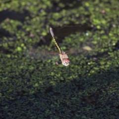 Hemicordulia tau (Tau Emerald) at Wonga Wetlands - 26 Nov 2020 by Kyliegw