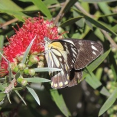 Belenois java (Caper White) at Conder, ACT - 13 Nov 2020 by michaelb