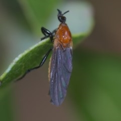 Bibio imitator (Garden maggot) at ANBG - 24 Nov 2020 by WHall