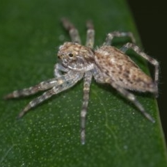Helpis minitabunda (Jumping spider) at ANBG - 24 Nov 2020 by WHall
