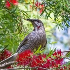 Anthochaera carunculata (Red Wattlebird) at ANBG - 24 Nov 2020 by WHall