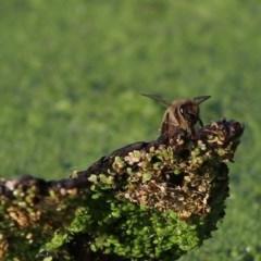 Apis mellifera (European Honey Bee) at Wonga Wetlands - 26 Nov 2020 by Kyliegw