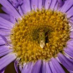Miridae sp. (family) (Unidentified plant bug) at Namadgi National Park - 25 Nov 2020 by trevsci