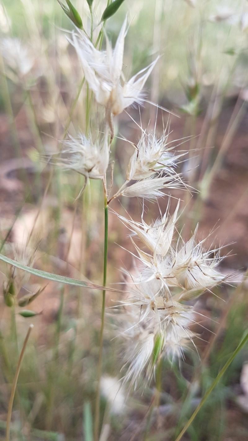 Rytidosperma sp. at Bass Gardens Park, Griffith - 27 Nov 2020