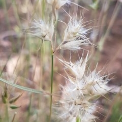Rytidosperma sp. (Wallaby Grass) at Bass Gardens Park, Griffith - 26 Nov 2020 by SRoss