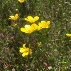 Ranunculus sp. (Buttercup) at Peak View, NSW - 18 Nov 2020 by Hank