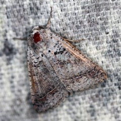 Pantydia sparsa ( A noctuid moth) at O'Connor, ACT - 24 Nov 2020 by ibaird