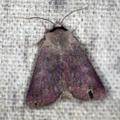 Pantydia (genus) (An Erebid moth) at O'Connor, ACT - 25 Nov 2020 by ibaird