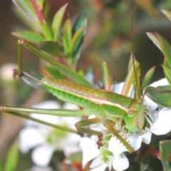 Unidentified Grasshopper, Cricket or Katydid (Orthoptera) (TBC) at Black Mountain - 24 Nov 2020 by Harrisi
