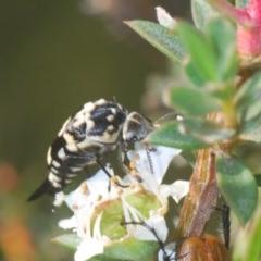Hoshihananomia leucosticta (Pintail or Tumbling flower beetle) at Black Mountain - 24 Nov 2020 by Harrisi