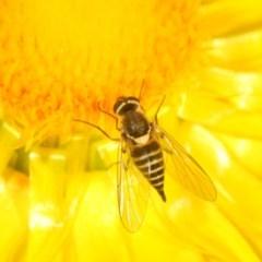 Australiphthiria hilaris (Slender Bee Fly) at Black Mountain - 24 Nov 2020 by Harrisi