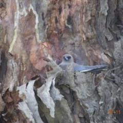 Artamus cyanopterus (Dusky Woodswallow) at Ingebirah, NSW - 26 Nov 2020 by GirtsO