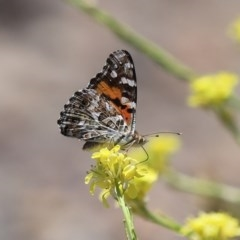 Vanessa kershawi (Australian Painted Lady) at Jerrabomberra Wetlands - 26 Nov 2020 by RodDeb