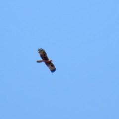 Hieraaetus morphnoides (Little Eagle) at Fyshwick, ACT - 26 Nov 2020 by RodDeb