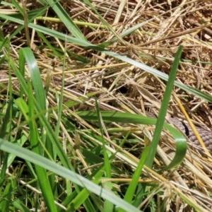 Pseudonaja textilis at Jerrabomberra Wetlands - 27 Nov 2020