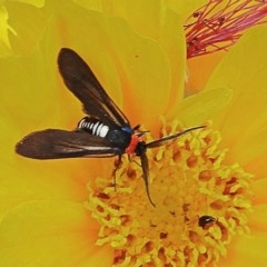 Hestiochora furcata (A zygaenid moth) at Crooked Corner, NSW - 25 Nov 2020 by Milly