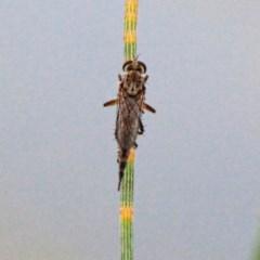 Cerdistus sp. (genus) (Robber fly) at Throsby, ACT - 27 Nov 2020 by davobj
