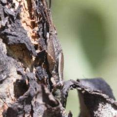 Unidentified All Cricket (Orthoptera, several families) (TBC) at Aranda Bushland - 26 Nov 2020 by AlisonMilton