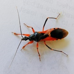 Ectomocoris ornatus (A ground assassin bug) at Crooked Corner, NSW - 9 Oct 2020 by Milly