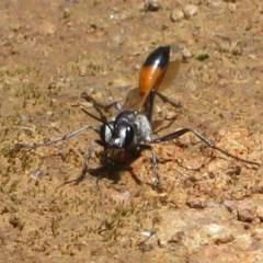Podalonia tydei (Caterpillar-hunter wasp) at Woodstock Nature Reserve - 23 Nov 2020 by Christine