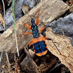 Ectomocoris patricius (Ground assassin bug) at Crooked Corner, NSW - 28 Aug 2017 by Milly