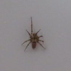 Oecobius navus (Midget house spider) at Flynn, ACT - 27 Nov 2020 by Christine
